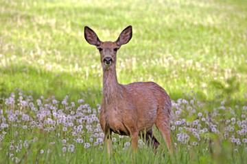 Mule Deer Doe in spring meadow Wall mural