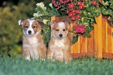 Border Collie puppies sitting in grass by flower pot