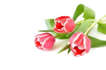 Tulips  on the white background.