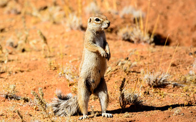 Ground squirrel on its hind leds
