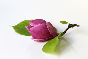 Magnolia blossom on a white background. Pink magnolia flower. Magnolia x soulangeana blossom.