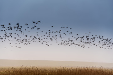 Vogelschwarm über Schilf