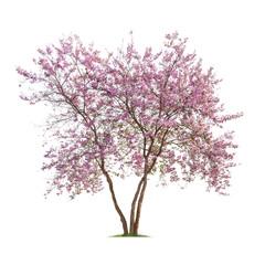 Isolated Lagerstroemia Loudonii tree on white background