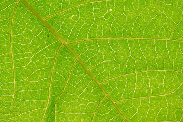 Closeup Abstract green leaf texture