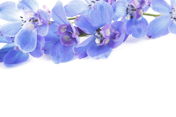 Blue delphinium flowers on white background