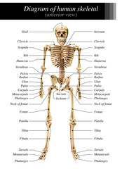 Human skeleton diagram