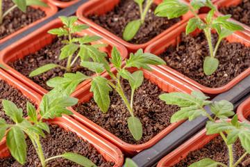 Fresh tomato seedling