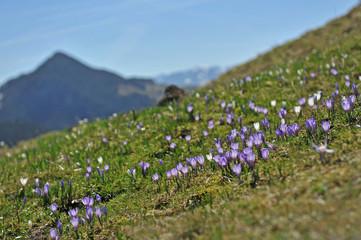 Frühlingsboten im Gebirge