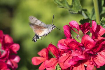 Mariposa Esfinge colibrí volando sobre flores