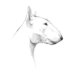 Vector sketch of Bull terrier dog head profile isolated on white background.