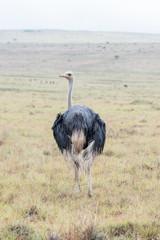 Wet male ostrich