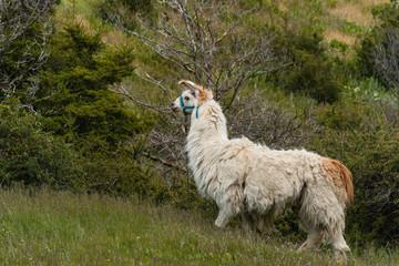 domestic llama grazing on meadow