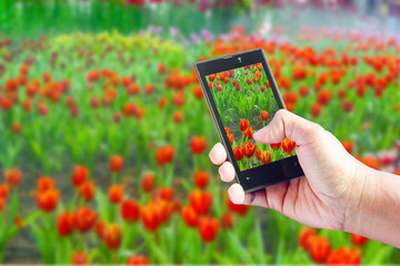Female hand with takes pictures of Tulip with mobile. On the bac