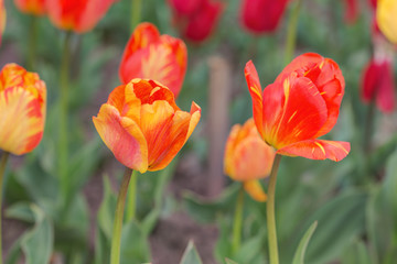 tulips in spring closeup