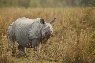 Big endangered indian rhinoceros in Kaziranga National Park / Big endangered indian rhinoceros in Kaziranga National Park