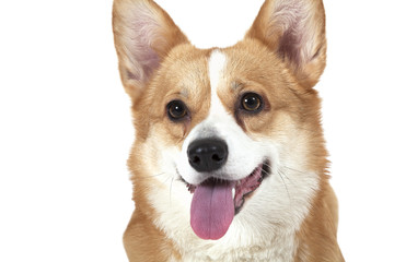 Portrait of Welsh corgi Pembroke dog