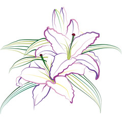Lily. Hand drawn vector illustration on white background.