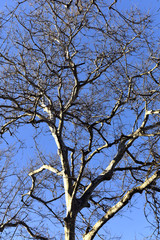 Spreading branches of tall trees against the blue cloudy sky.