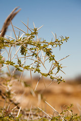 Close-up of Bush with Thorns in Desert, Namibia.