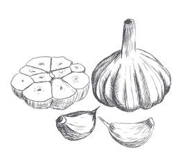 Hand drawn raw garlic sketch