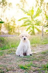 Golden retriever puppy seating in a garden