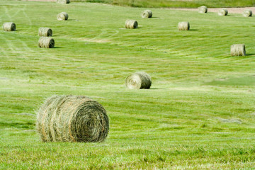 Green Round Baled Hay – Rounds bales of hay in a farmland field.