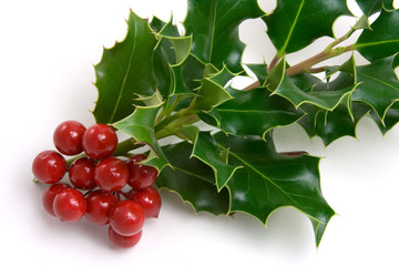 Holly Leaves and Red Berries – A branch of holly leaves and berries. White background.