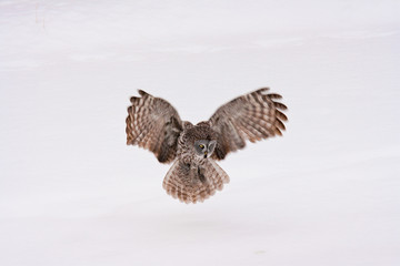Great Grey Owl with wings spread