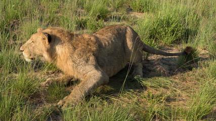 Lion cub at Antelope Park