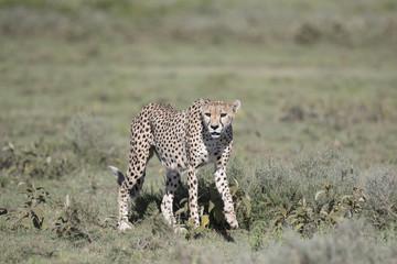 Portrait of wild cheetah in its natural habitat