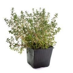 Lemon thyme in pot