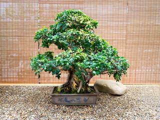 old bonsai tree in a ceramic pot