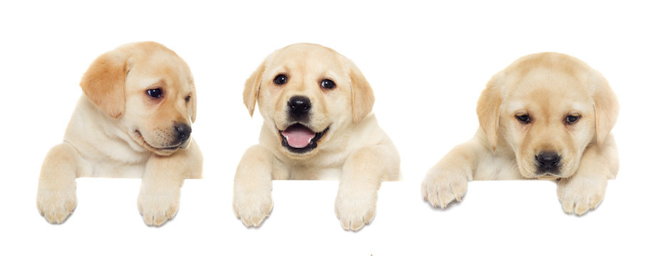 labrador puppy, looking