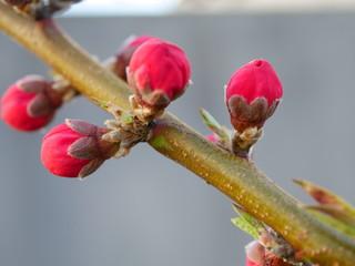 Peach flower bud