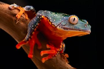 tropical tree frog, Cruziohyla craspedopus. A rain forest amphibian from the amazon rainforest. Exotic animal and fringe treefrog.
