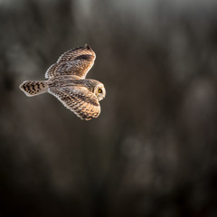 Wild Short eared owl in flight showing the feathers and structur