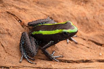 poison dart frog phyllobates aurotaenia