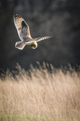 Wild Short eared owl stops in flight and prepares to dive on prey (Asio flammeus)