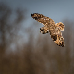 Wild Short eared owl banking round in flight looking for prey (A