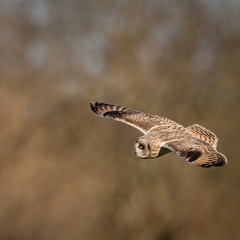 Wild Short eared owl in flight looking for prey (Asio flammeus)