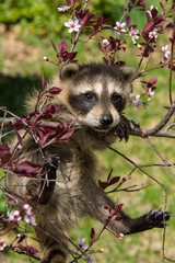 Baby Raccoon hanging from a tree