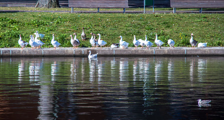 a group of geese standing along river bank