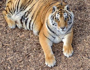 The Tiger, once common in many areas of Asia, Russia and the middle east, has become an endangered species, threatened in its native range with only a fraction of its original poulation remaining