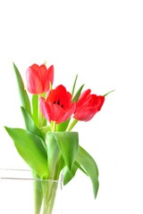 Tulip. Red tulips, bouquet of tulips.