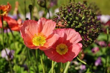 Pink Poppies  flower.