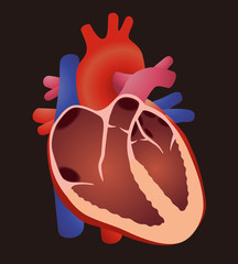 diagram of human cardiac structure, the heart, vector illustration