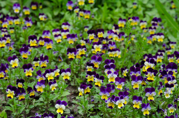 Pansies in a spring garden
