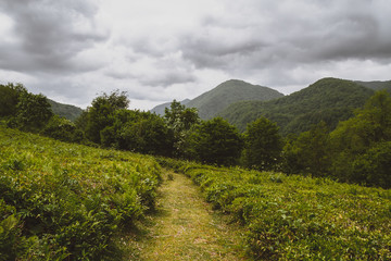 Tea plantations of Dagomys (Greater Sochi). The most northern tea in the world