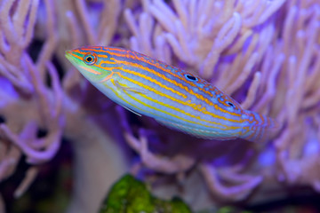 Halichoeres cosmetus, commonly called the Adorned Wrasse, a saltwater fish from the Indian Ocean