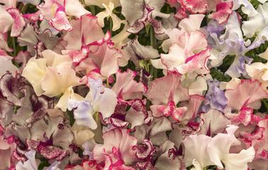 Harlequin Sweet Pea Flowers